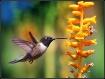The hummingbird a...