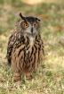 Eurasian Eagle Ow...