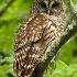 © Michael Cenci PhotoID# 8305033: Barred Owl 2