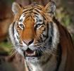 tiger means busin...
