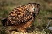 Ground Owl