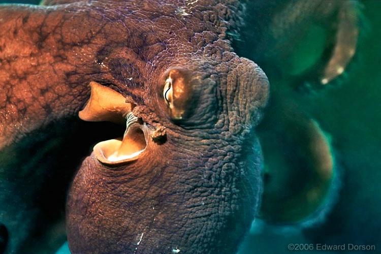 Octopus_5 - ID: 8321938 © Edward Dorson