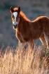 Wild Horse Foal i...