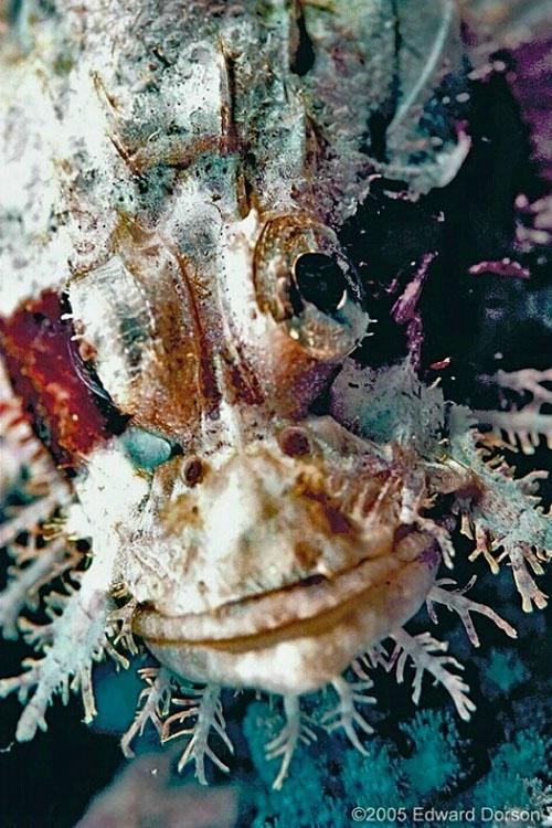 Tassled Scorpionfish 2 - ID: 8331955 © Edward Dorson