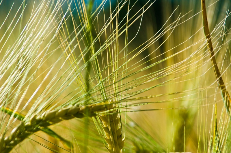 Barley - Assisi, N. Umbria, Italy - ID: 8363784 © Larry J. Citra