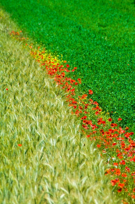 Poppies in Barley Field - Assisi, N. Umbria, Italy - ID: 8363786 © Larry J. Citra