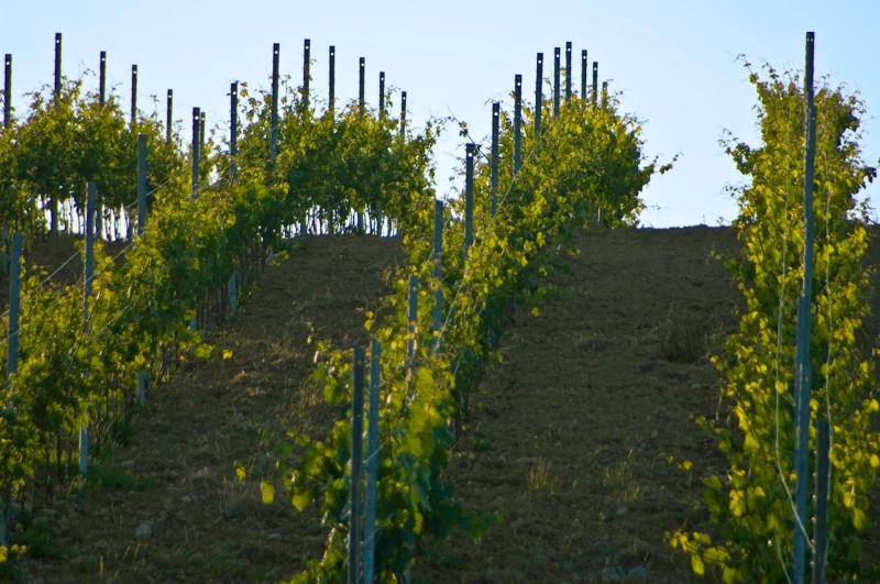 Vineyard Rows - Assisi, N. Umbria, Italy - ID: 8363790 © Larry J. Citra