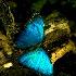 2blue butterfly - ID: 8369602 © Lynn Andrews