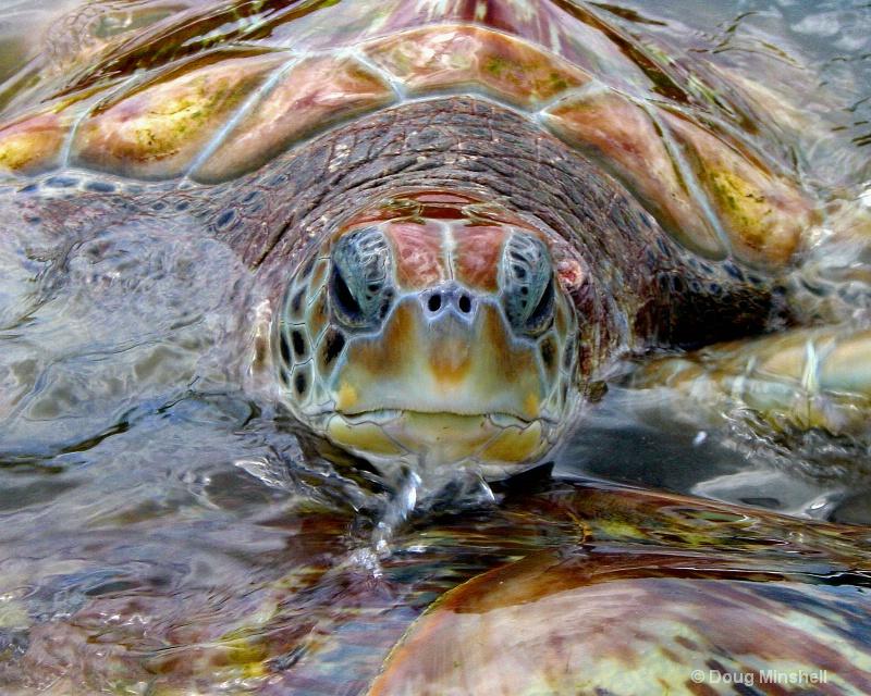 Green Sea Turtle - ID: 8411420 © Douglas R. Minshell