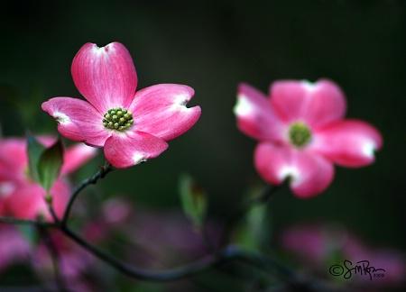 Pink Dogwood Tree Flowers