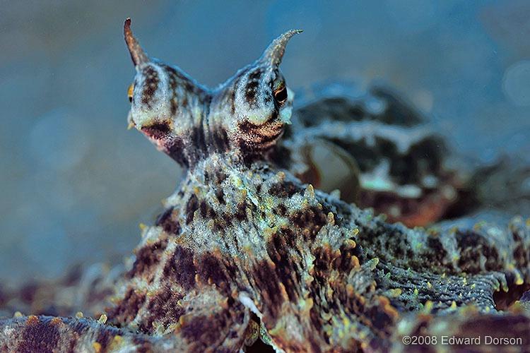 Mimic Octopus_1 - ID: 8449037 © Edward Dorson