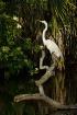 Great Egret Perch...
