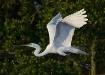 Great Egret in Fl...