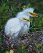 Great Egret Chick...