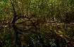 White Mangrove an...