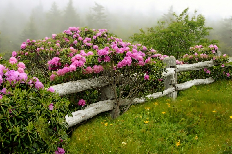 Rhododendron by the old wooden fence