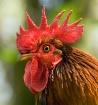 Bantam Rooster Po...