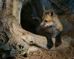 Red Fox Pup in De...