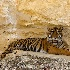 © Emile Abbott PhotoID # 8541509: Sumatran Tiger