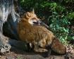 Red Fox at Den
