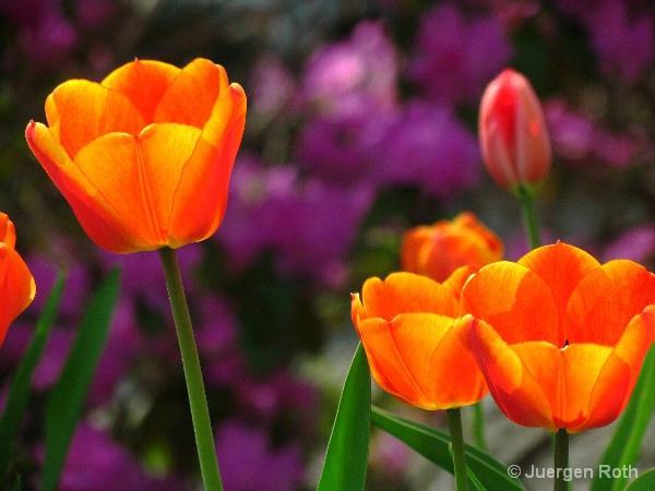 Three Tulips - ID: 8557638 © Juergen Roth