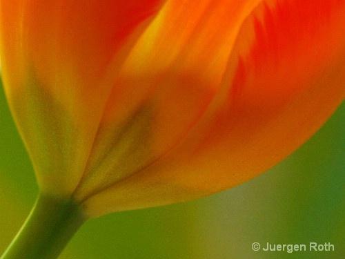 Tulip III - ID: 8557640 © Juergen Roth