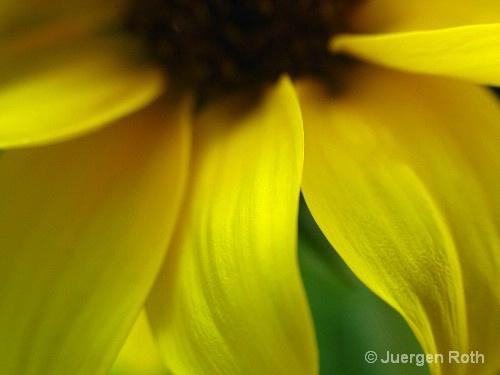 Sunflower I - ID: 8557641 © Juergen Roth