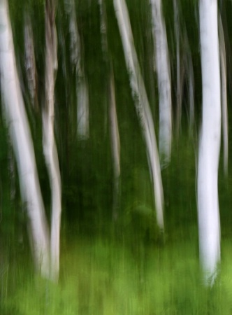 Acadia Birches