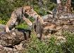 Lynx Pouncing