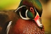 Wood Duck Detail