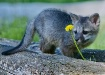 Grey Fox Pup with...