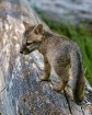 Grey Fox Pup