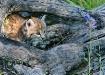 Lynx Kitten in Lo...