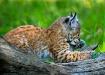 Lynx Kitten on Lo...
