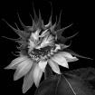Bashful Sunflower