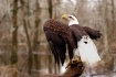 Swamp Eagle