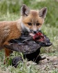 Fox Kit With Coot