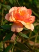 Ocracoke Rose