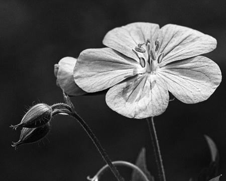 Geranium and 2 buds