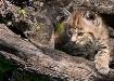 Lynx Kitten Peeri...