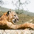 2So. California Cougar - ID: 8666463 © Lynn Andrews