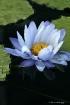 Blue waterlily