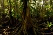 Pterocarpus Forre...