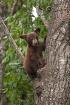 Black Bear Cub 21...