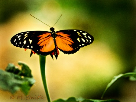 Rosita or Crimson Patch Butterfly