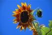 Sun Flower #3