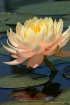 Peach waterlily