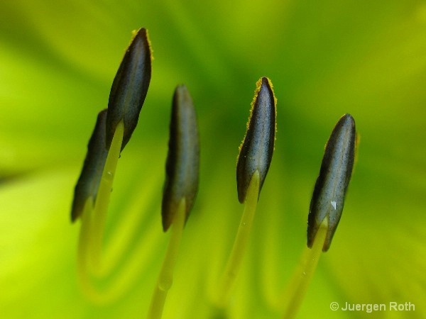 Lily III - ID: 8720223 © Juergen Roth