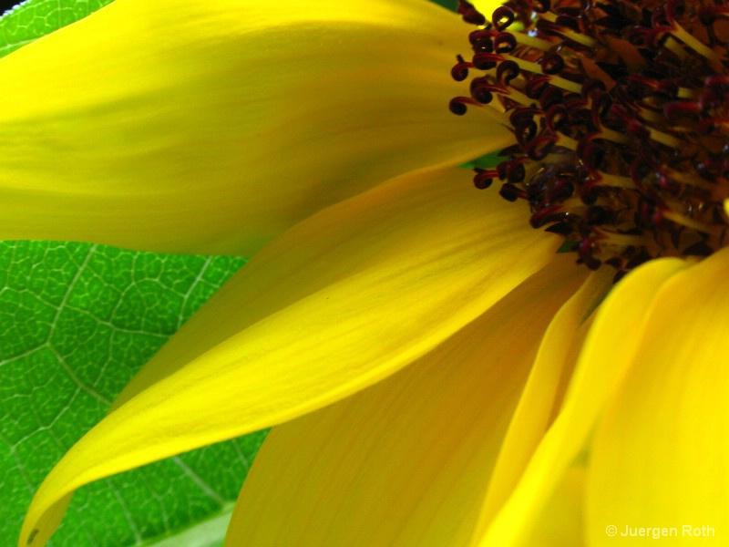 Sunflower II - ID: 8720224 © Juergen Roth