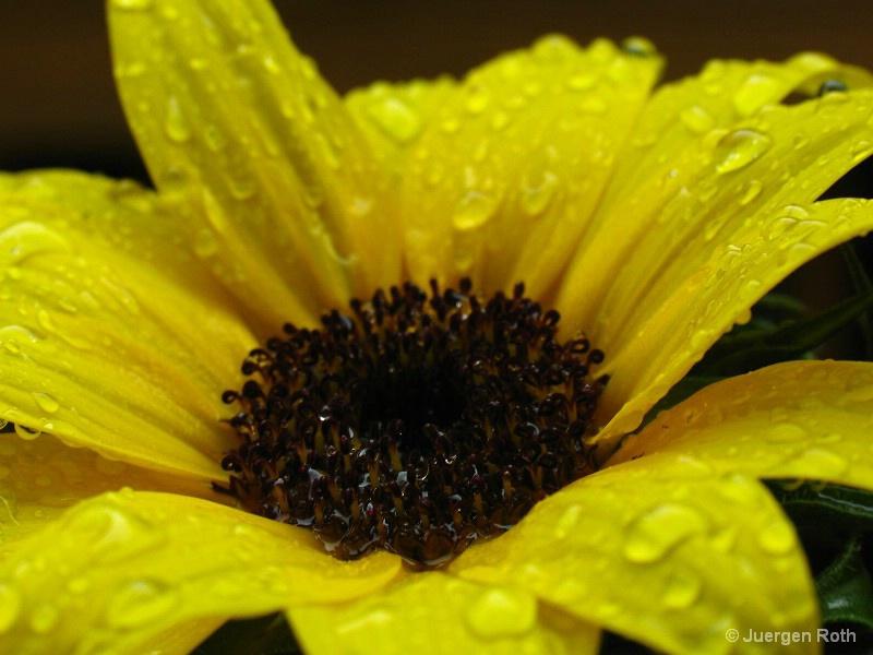 Sunflower III - ID: 8720226 © Juergen Roth